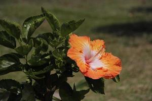 fiori, grande isola, hawaii foto