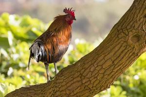 ritratto di pollo ruster in hawaii foto