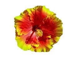 fiore di ibisco hawaii foto