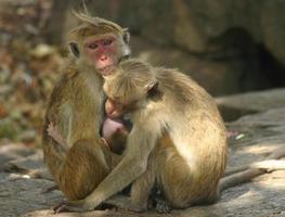 famiglia delle scimmie, sri lanka