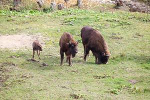 famiglia di aurochs foto