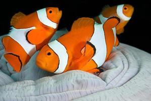 famiglia di pesci pagliaccio foto