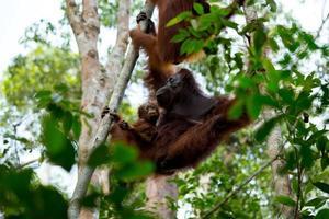 orangutan della famiglia. foto