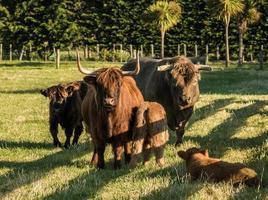 famiglia di bestiame dell'altopiano foto