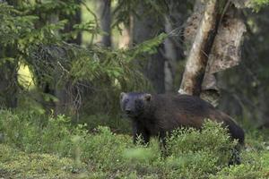 Wolverine nella foresta