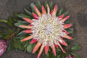 protea sp. (famiglia: proteaceae. sudafrica). foto