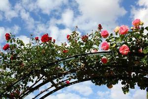 arco di rose foto