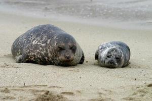 famiglia di foche foto