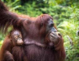 famiglia degli oranghi del Borneo