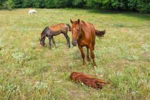 famiglia di cavalli al pascolo estivo foto