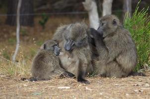 babbuino famiglia toelettatura con allattamento al seno bambino foto