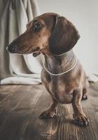 cane bassotto rosso sul tavolo di legno foto