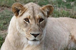 ritratto di leonessa