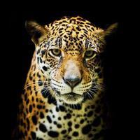 ritratto di leopardo