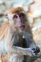 ritratto di macaco foto