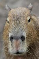 ritratto di capibara foto