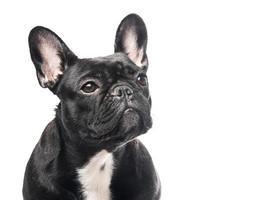 Ritratto di bulldog francese foto