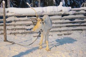 una renna di corno in ruka in Lapponia in Finlandia