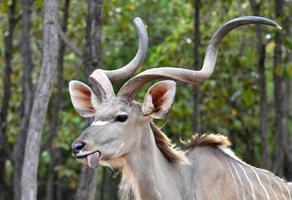 ritratto di kudu foto