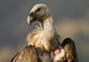 ritratto di avvoltoio foto