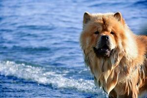 ritratto chow-chow foto