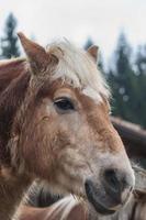 primo piano del cavallo foto