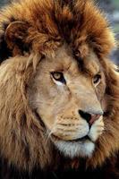 ritratto di leone foto