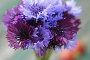 Close up ofncornflowers foto