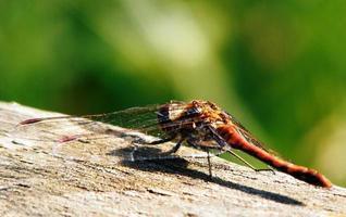 libellula da vicino foto