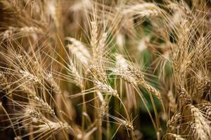 primo piano del grano foto