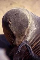 primo piano di foca foto
