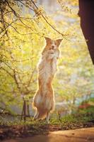 cane border collie alzarsi al sole foto