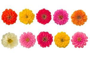Zinnie di fioritura isolate su fondo bianco foto