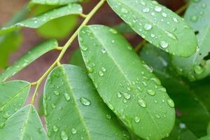 foglia verde con gocce di acqua piovana, sfondo di natura foto