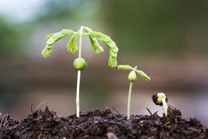fase di crescita del germoglio di tamarindo. foto