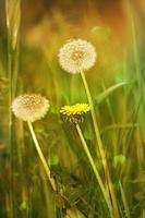seme di dente di leone dietro fiore giallo foto