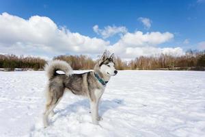 ritratto di husky