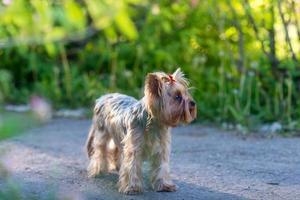 ritratto di yorkshire terrier