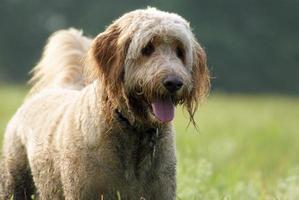 cane del Goldendoodle che gode di una passeggiata foto