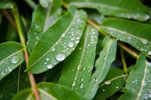 foglie con gocce