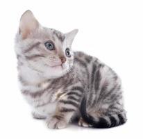 gattino del Bengala foto