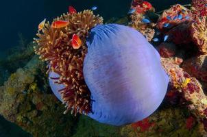Anemone di mare foto