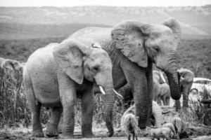 elefanti, sud africa foto
