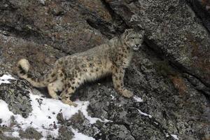 leopardo delle nevi, uncia unciaa foto
