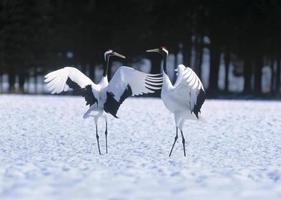 danza giapponese corteggiamento gru