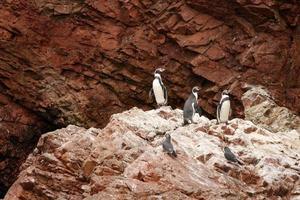 Pinguino di Humboldt nell'isola Ballestas, parco nazionale di Paracas, Perù. foto