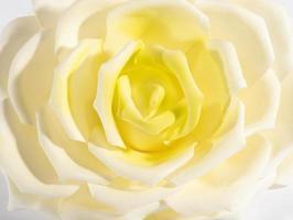 vicino dettaglio di una rosa bianca e gialla foto
