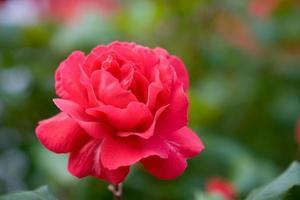 rosa rossa nel parco foto