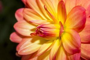 fiori di dalia