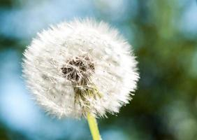 fiore di tarassaco foto